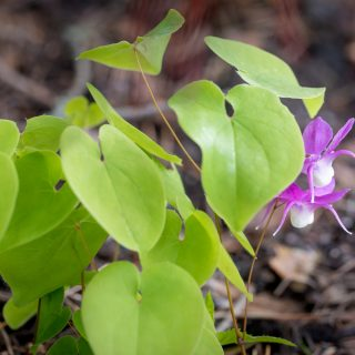 Nya sockblommor - Epimedium macrosepalum