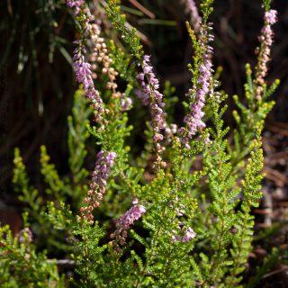 Ljung - Calluna vulgaris 'Easter Bonfire'
