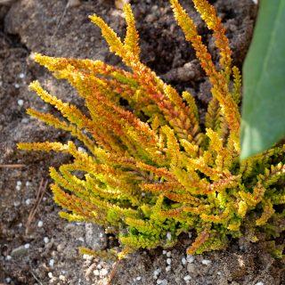Ljung - Calluna vulgaris 'Laubschöne'