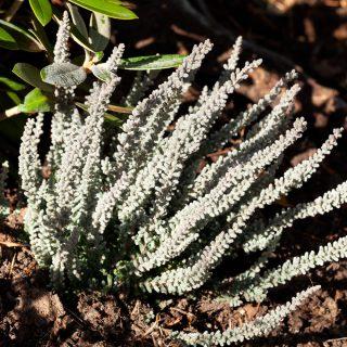Ljung - Calluna vulgaris 'Zilly'