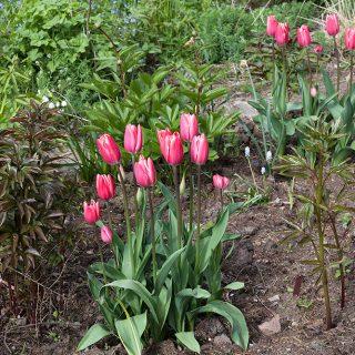Tulipa 'Princess Victoria'