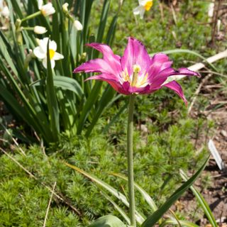 Tulipa 'Burgundy'