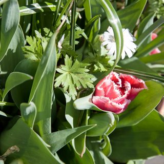 Tulipa 'Fringed Canasta'
