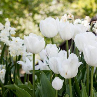 Tulipa 'Catherine'