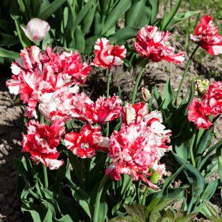 Tulipa 'Estella Rijnveld'