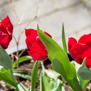 Tulipa 'Pallada'