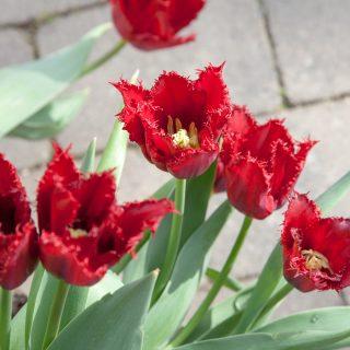 Tulipa 'Pacific Pearl'