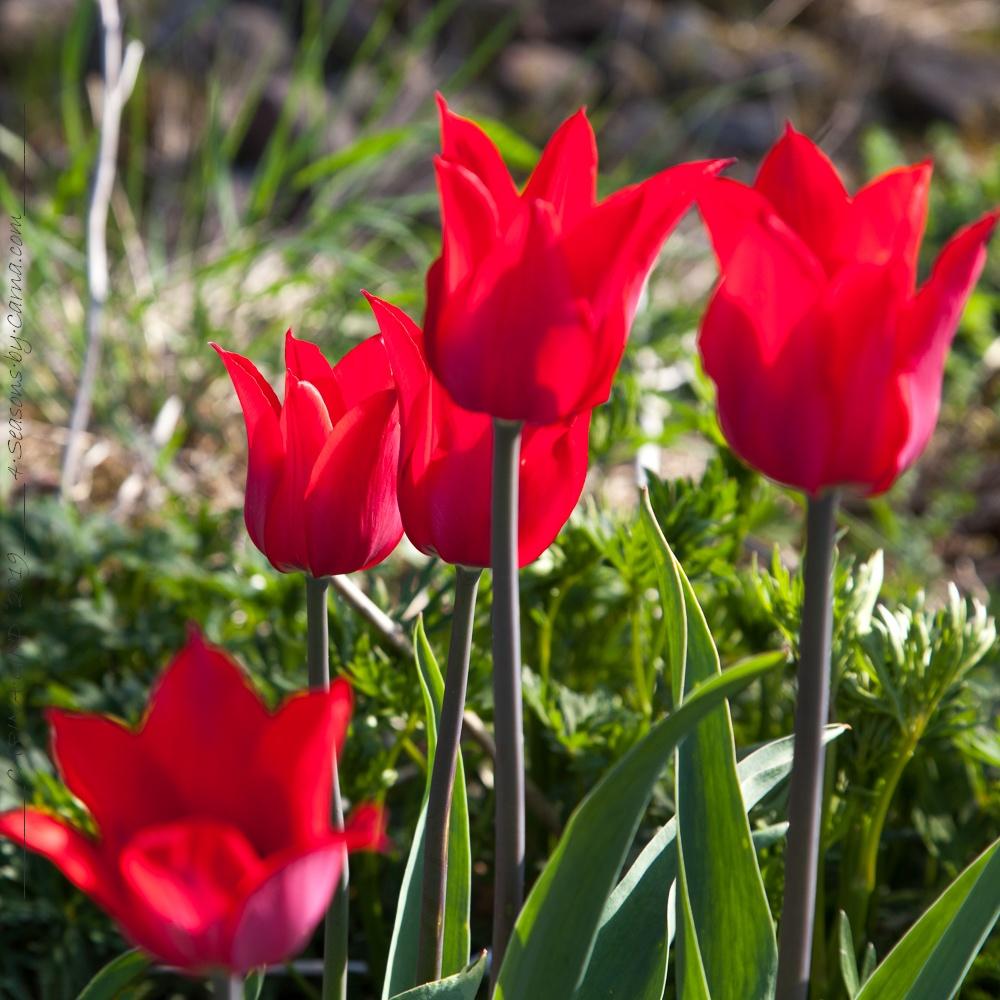 Tulpanbombning - Tulipa 'Pieter de Leur'