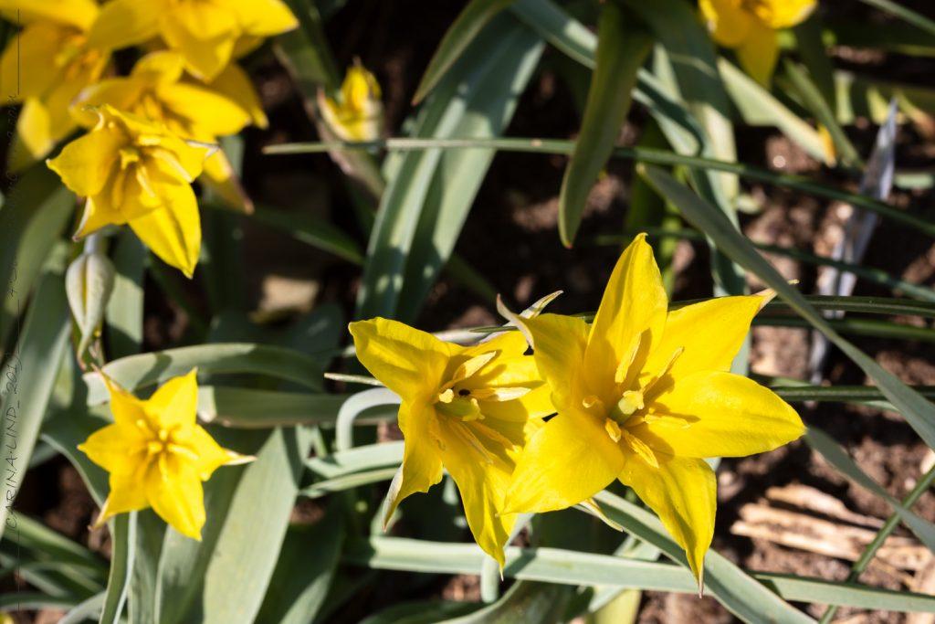 Tulipa kolpakskowiana