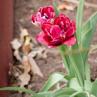 Tulipa 'Dream Touch'