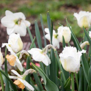 Tulipa 'Honeymoon'