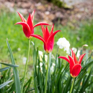 Tulipa 'Aladdin's Record'