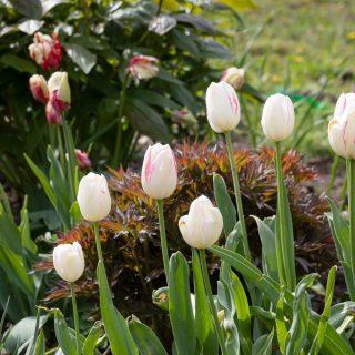 Tulipa 'Beauty Trend'