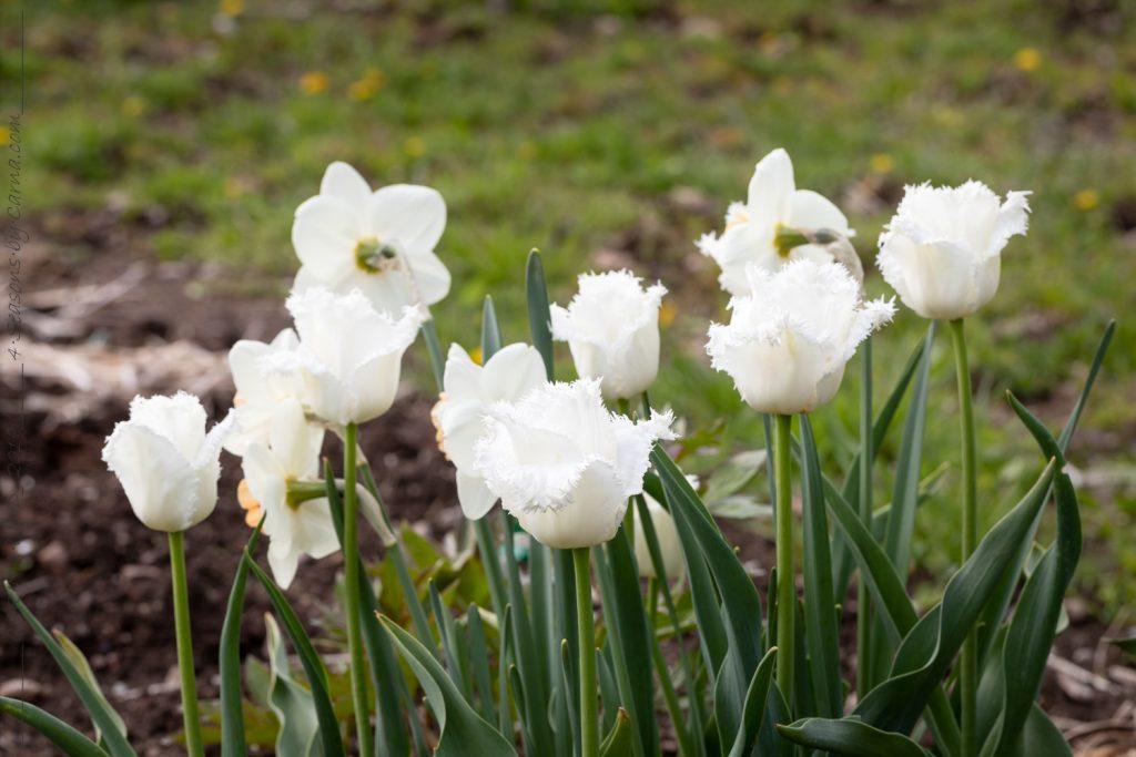 Det-blir-fler - Tulipa 'Honeymoon'