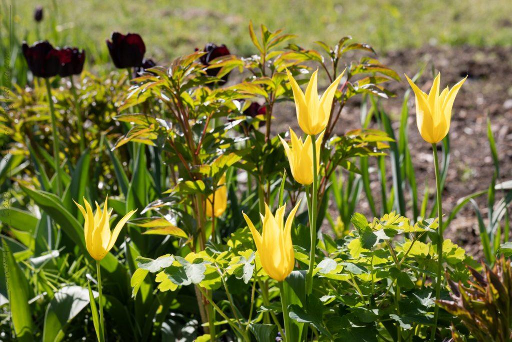 Tulpanbombning - Tulipa 'West Point'