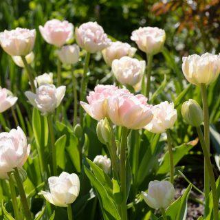 Tulpanbombning - Tulipa 'Angelique'