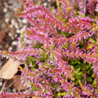 Calluna vulgaris 'Bonita'