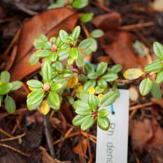 Rhododendron dendrocharis - karamellalpros