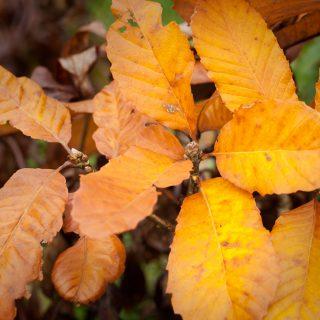 vinden förlorar mot Quercus pontica