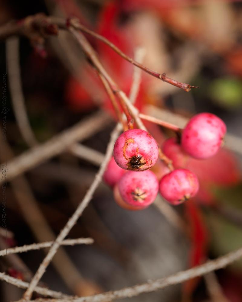 Vinden biter inte på bär - Sorbus reducta bär