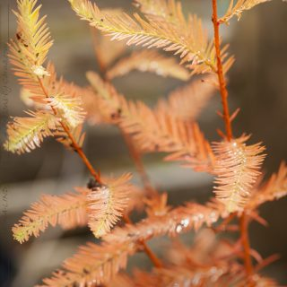 Taxodium distichum - sumpcypress