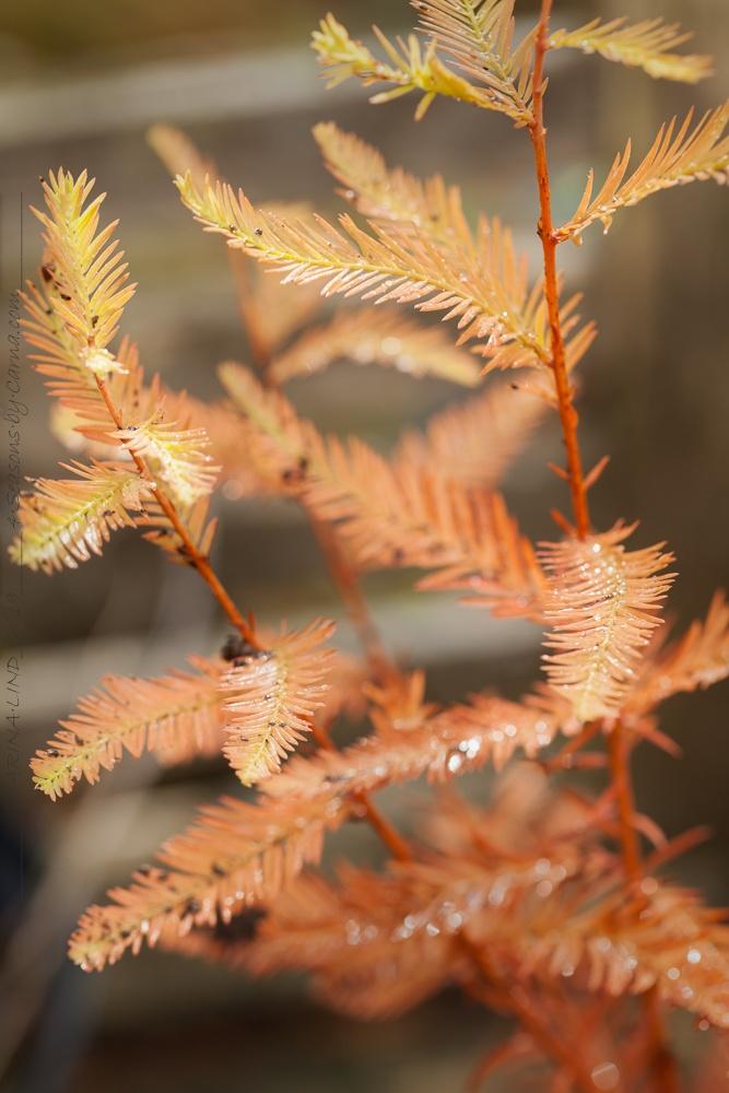 Taxodium distichum - sumpcypress