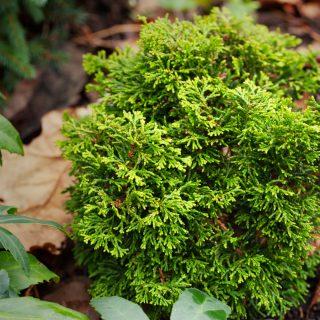 Barr - Chamaecyparis obtusa 'Butterball', japansk ädelcypress