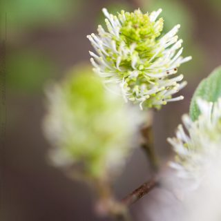 D-E-F-G, Fothergilla major, häxal