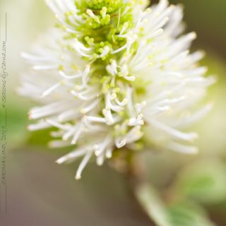 Fothergilla major, häxal
