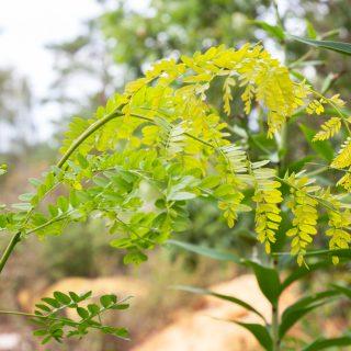 D-E-F-G, Gleditsia triacanthos 'Sunburst - gulbladigt korstörne