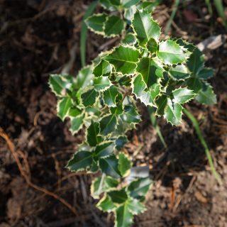 vintergrönt - Ilex aquifolium 'Aurea Marginata'