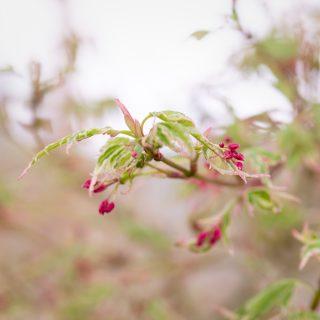 Trädgårdsväxternas hej - Acer palmatum 'Okukuji Nishiki' - japansk lönn