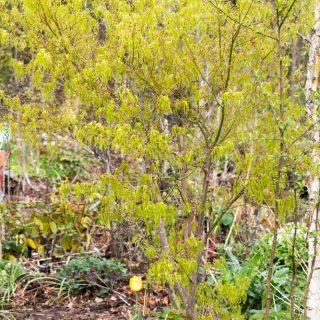 Acer palmatum 'Koto no ito' - japansk lönn