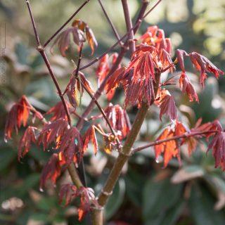 Acer palmatum 'Trompenburg' - japansk lönn