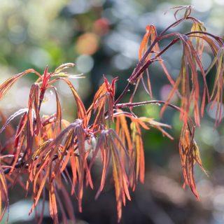 Acer palmatum 'Pung Kil', japansk lönn 'Pung Kil'