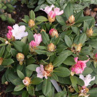 Rhododendron Yakushimanum-gruppen 'Dreamland'