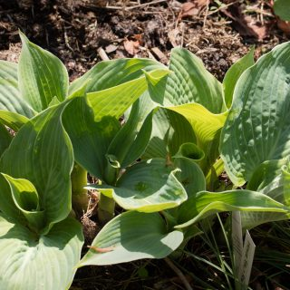 Hosta 'Blue River'