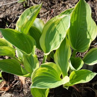 Hosta 'Dark Star'