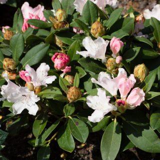 Yakushimanum-gruppen 'Dreamland', Rhododendron