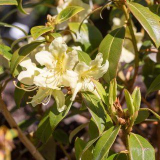 Rhododendronarter A-C, Rhododendron ambiguum - gul skogsalpros
