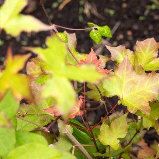 Acer truncatum - kinesisk spetslönn