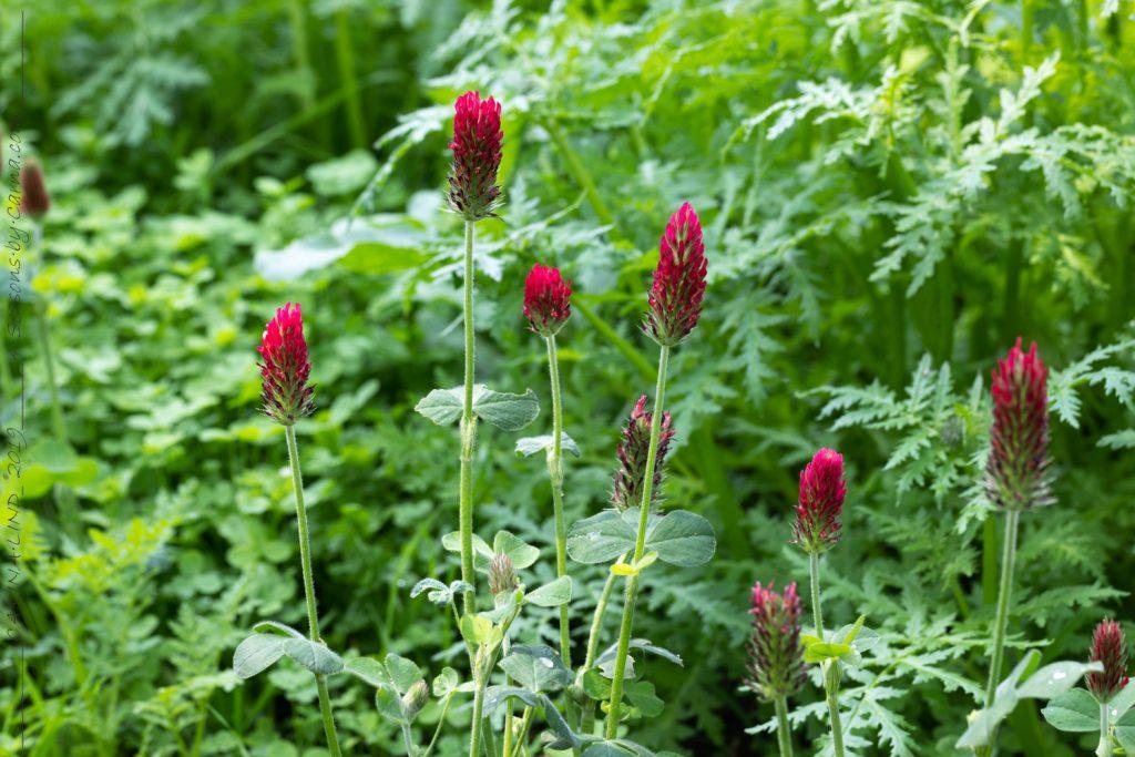Gröngödsling - klöver, Trifolium incarnatum