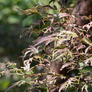Acer palmatum 'Manyo no sato' - japansk lönn