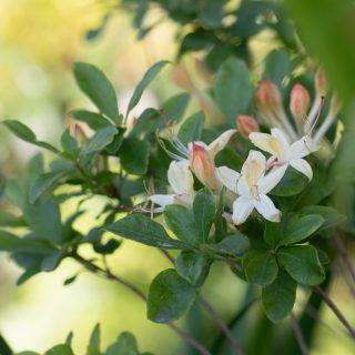Rhododendron Viscosa-grp 'Lemondrop'
