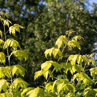 Acer negundo 'Odessanum' - gul asklönn