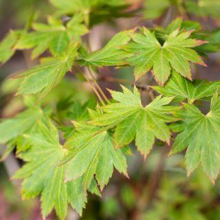 Acer shirasawanum 'Junihitoye'