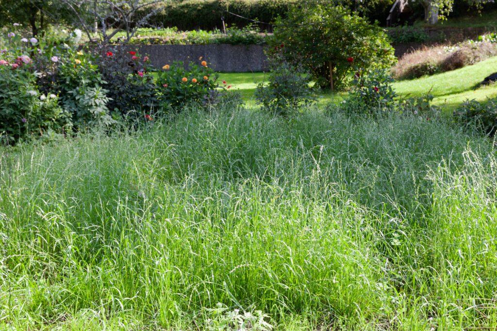Gröngödsling - rajgräset växer snabbt