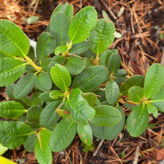 Rhododendron clementinae x citriniflorum