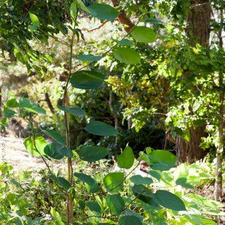 Styrax obassia - storax