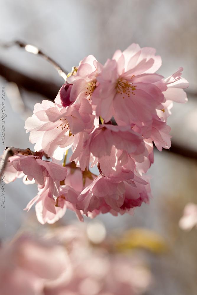 Körsbärsträden - Prunus 'Accolade'